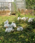 "Broiler ""chicks"" lounging in the shade."