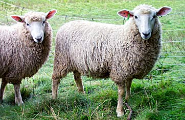 Hatchtown ewe lambs pose for the camera