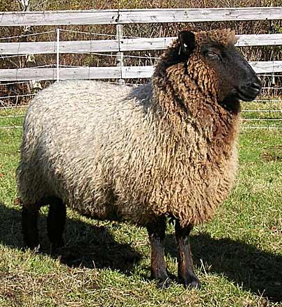 Hatchtown ewe