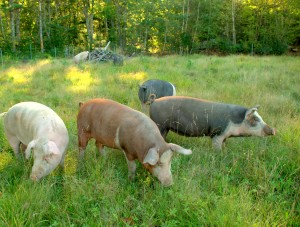 Pigs in fresh pasture