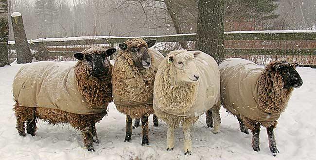Coopworth ewe lambs