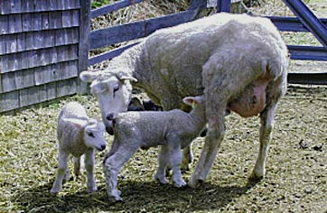 Coopworth ewe and her lambs fresh from the jug