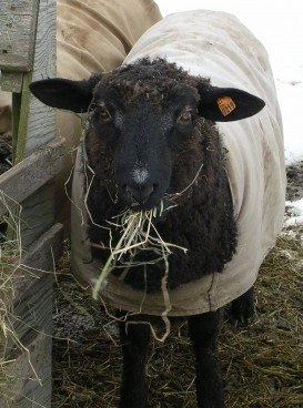 yearling ram, Hatchtown Onyx