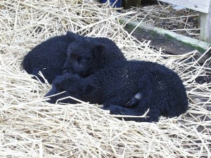 A bundle of black lambs.