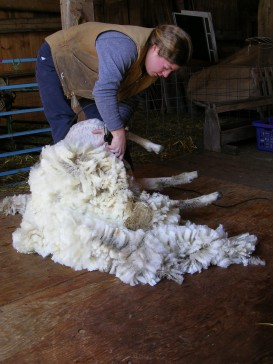 Emily shearing a white lamb
